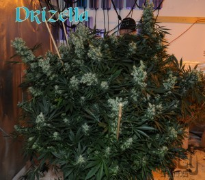 Drizella - sativa Strain - tolktalk